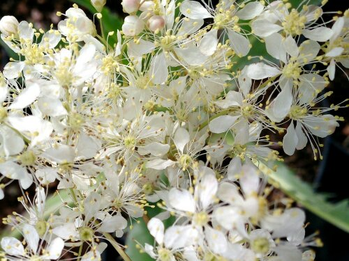 wpid-filipendula-vulgaris.jpg