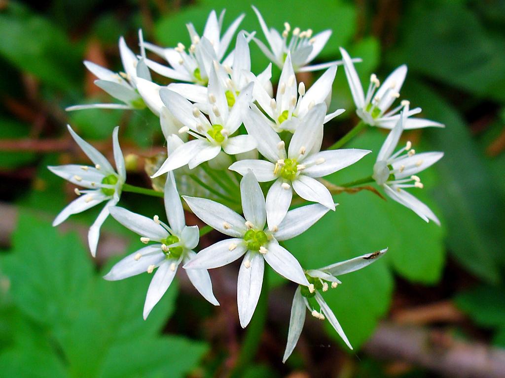 Allium_ursinum