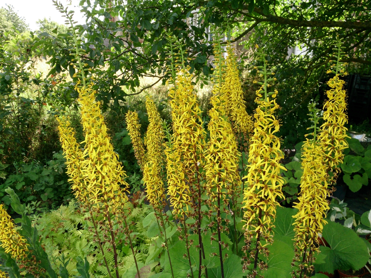 Ligularia_Japanese_Candles