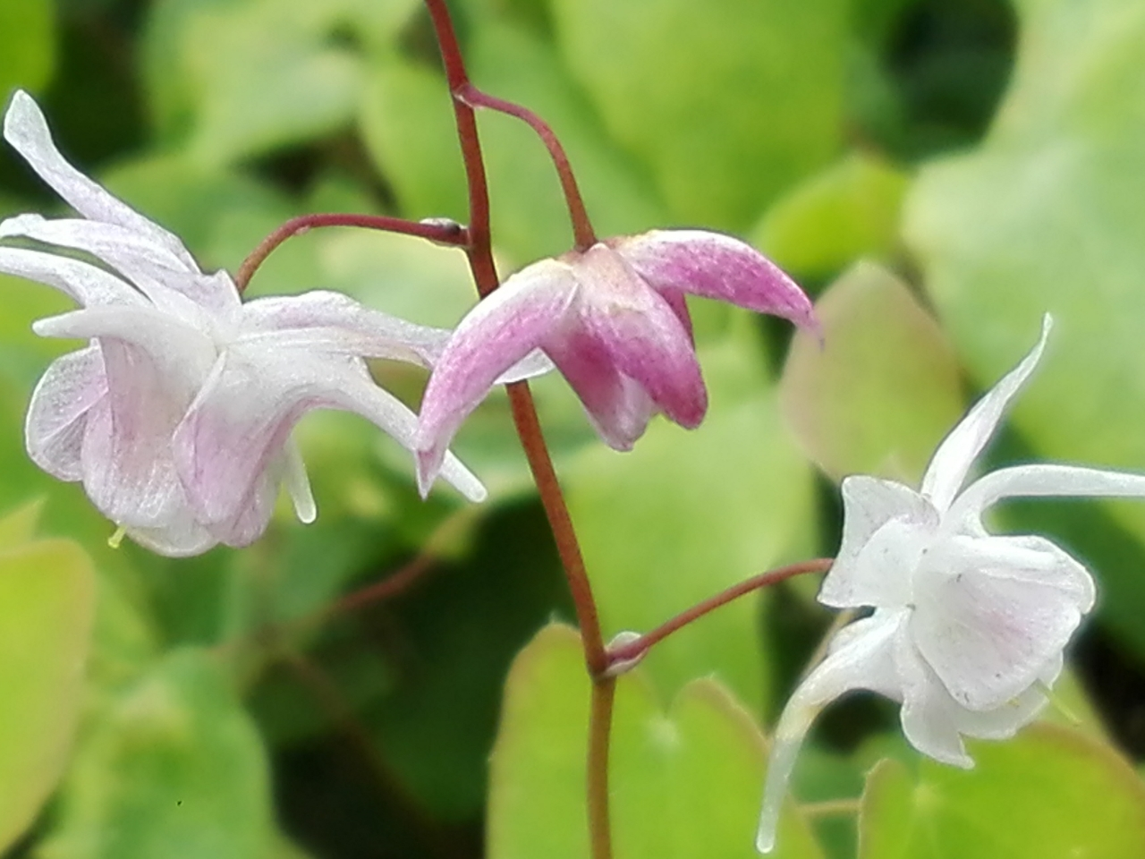 epimedium youngianum merlin