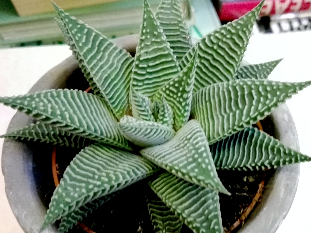 hawortia_limifolia_spide-1