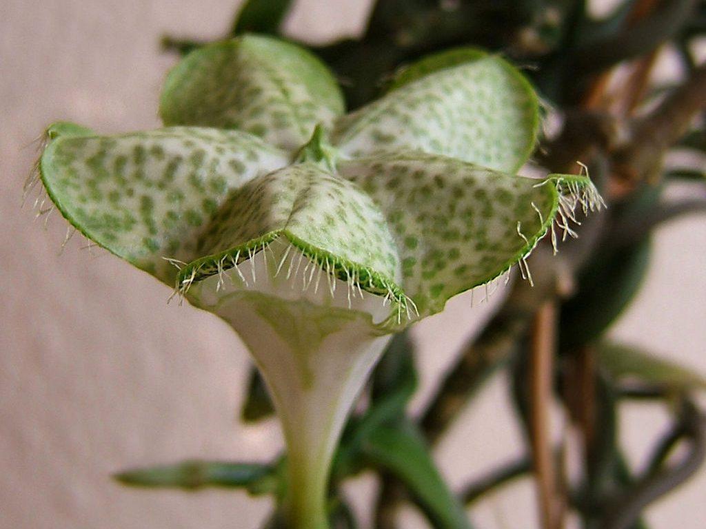 Ceropegia flower